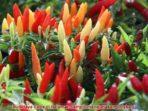 Cara membudidayakan tanaman cabe