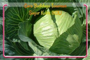 Cara Budidaya Tanaman Sayur Kubis (KOL)