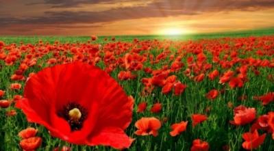 Bunga Poppy Cantik dan Memabukkan