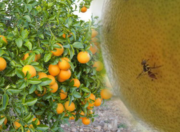 Jenis Hama & Penyakit pada tanaman jeruk