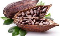 Cara membudidayakan tanaman Kakao (Coklat)
