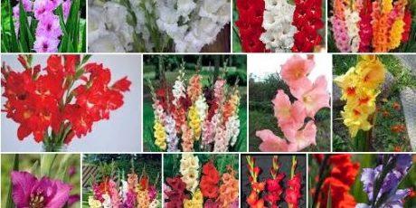 Jenis Hama & Penyakit pada tanaman Gladiol