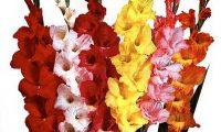 Cara Pembibitan Tanaman Gladiolus Hybridus