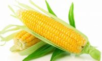 Jenis Hama dan Penyakit pada tanaman Jagung