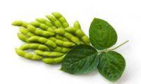 Budidaya Tanaman Kacang Kedelai