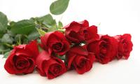 Pembibitan Bunga Mawar dengan cara Okulasi Mata Berkayu