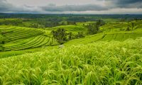 Sejarah Pertanian Indonesia